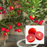 Egrow 20 Unids / pack Red Color Lemon Semillas Drawf Tree Bonsai Semillas de Frutas Orgánicas Home Garden Plants