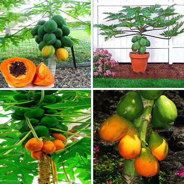 Egrow 15 Stks / pak Carica Papaya Seeds Biologisch eetbaar Fruit Sweet Papaya Bonsai Outdoor Boomzaad